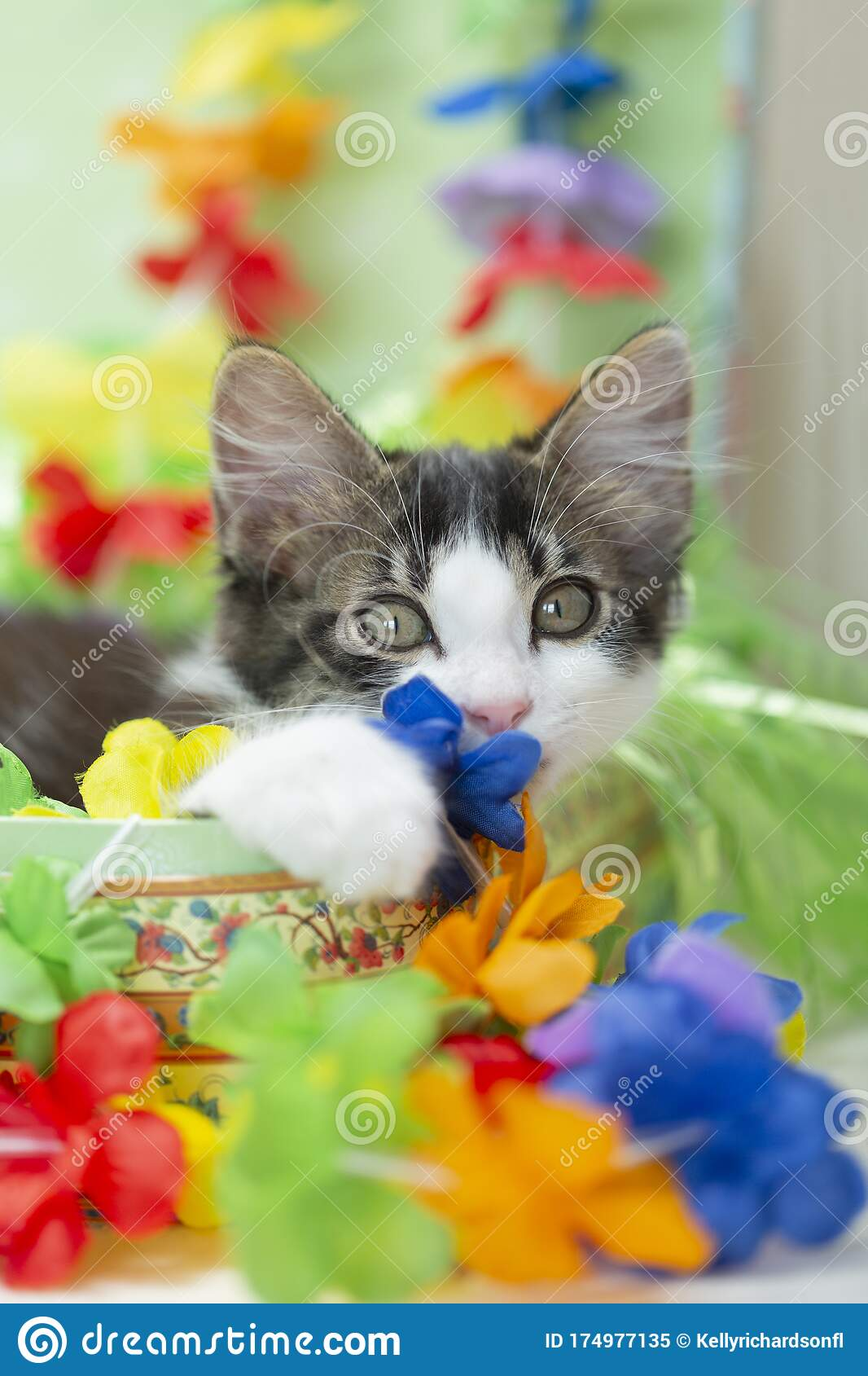 Brown And White Kitten Ready To Travel To Hawaiian Vacation Stock Image Image Of Case Fluffy 174977135