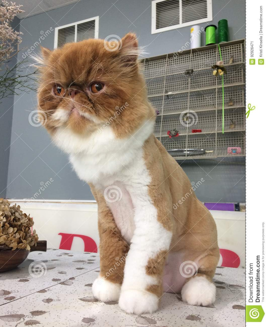 Persian Cat Lion Cut : persian, Brown, White, Rusty, Persian, Vintage, Background, Proud, Stock, Image, Vintage,, White:, 92926471