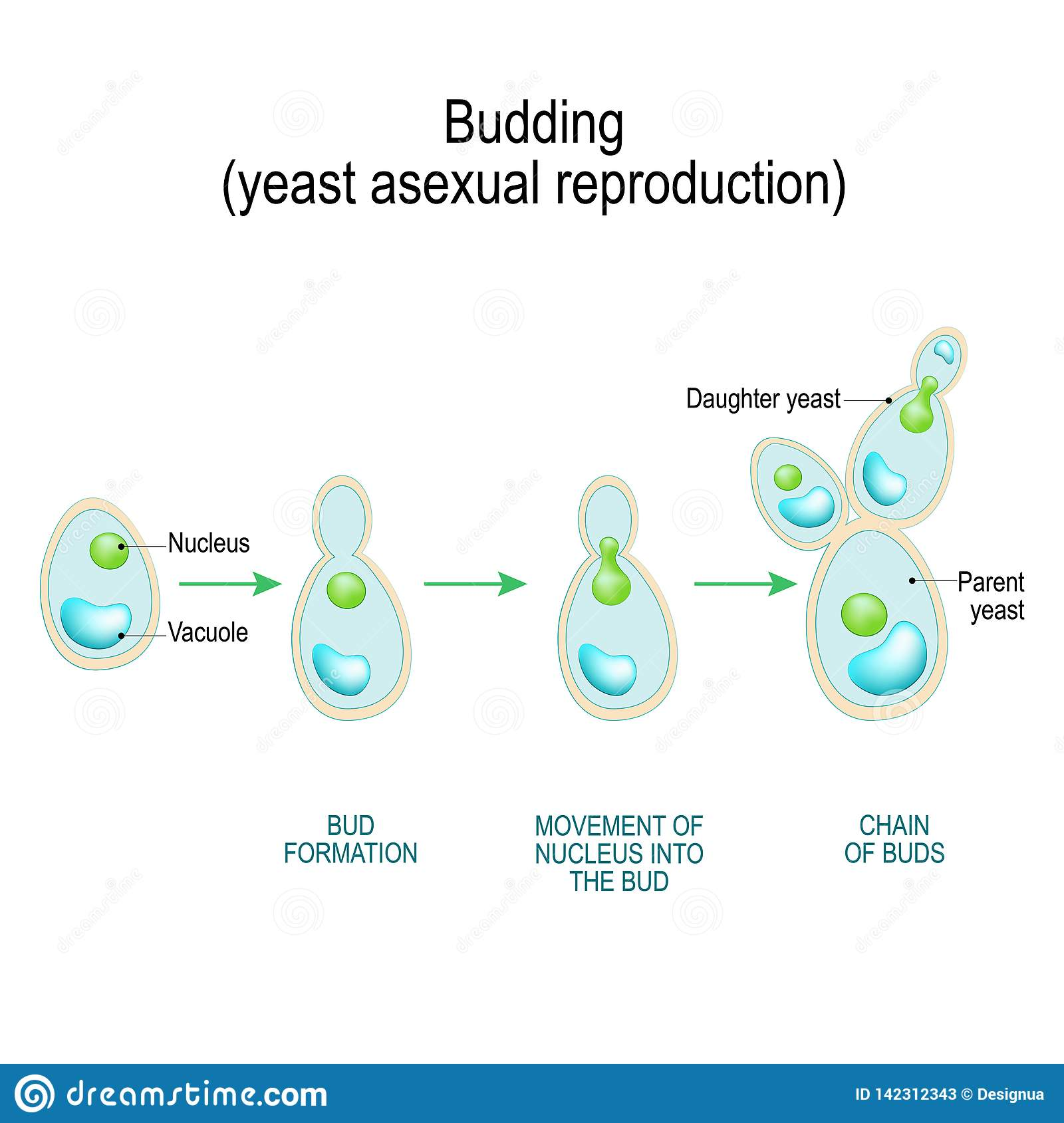 hight resolution of fungi diagram gcse