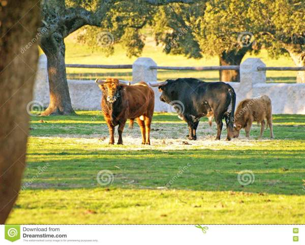 Bulls Countryside In Salamanca Spain Stock - 79744065