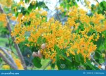 Burma Padauk Flowers Royalty-free Stock