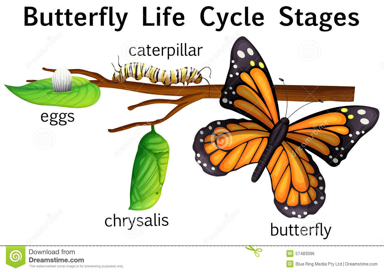 Butterfly Life Cycle Stages Stock Vector