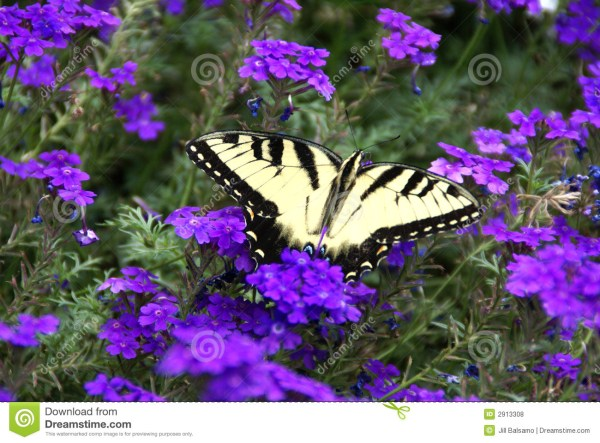 20 Purple Butterflies Purple Roses Only Pictures And Ideas On