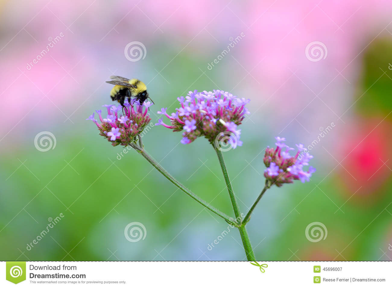 Buzzy Bee Stock Image Image Of Nature Insect Collecting