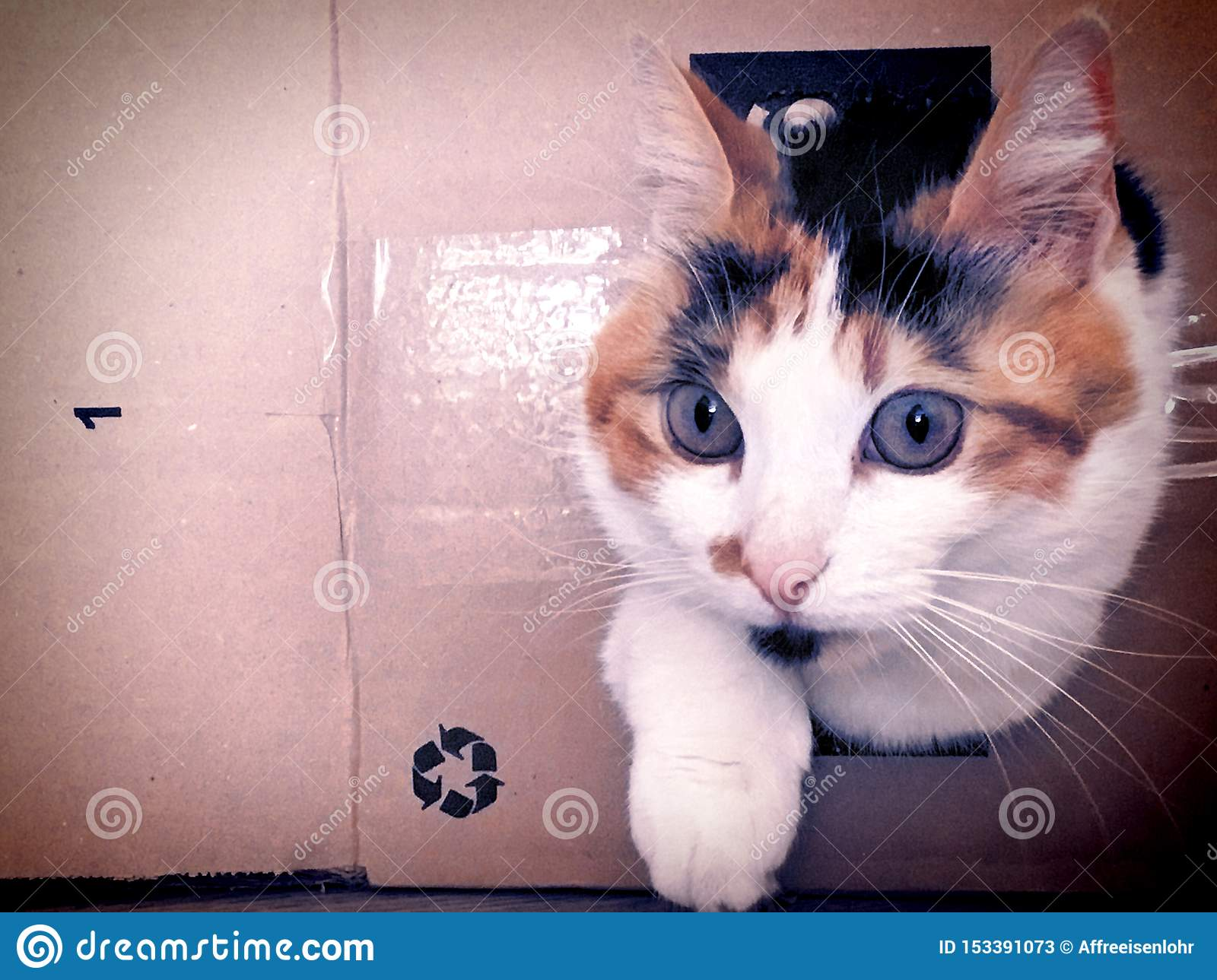 Portrait Of Funny Calico Cat Playing In A Cardboard