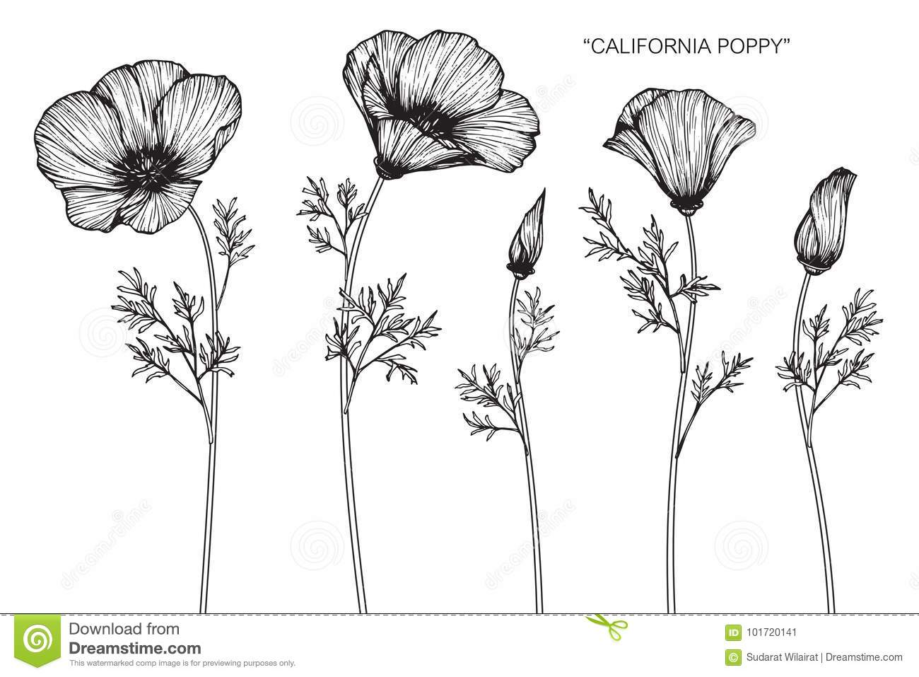 california poppy flowers drawing
