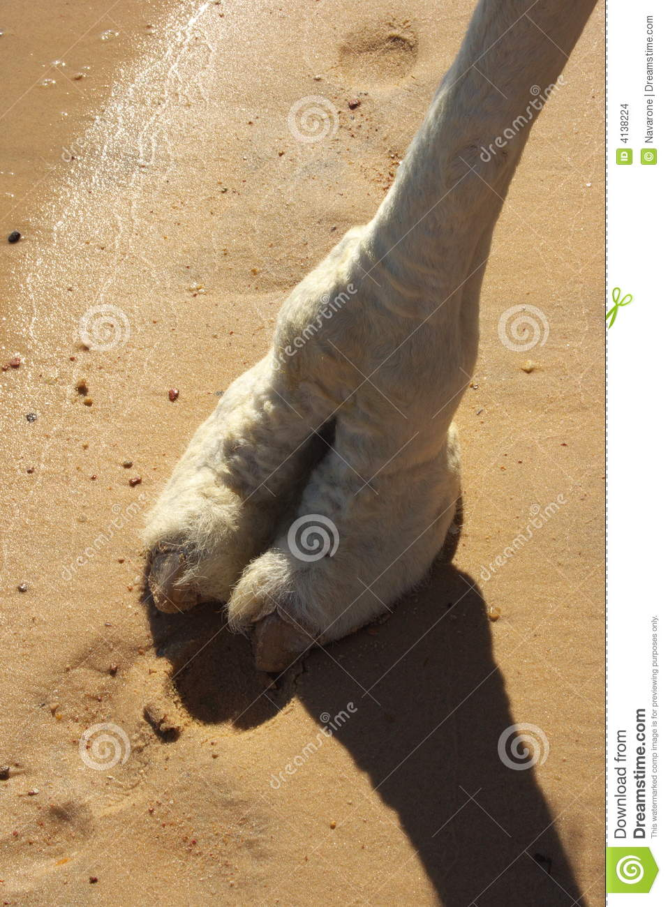 Camel Foot Stock Images Image 4138224