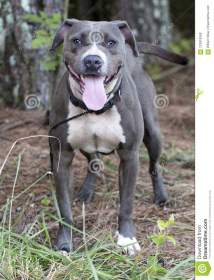 Blue Nose Pit Bull Teeth - Year of Clean Water