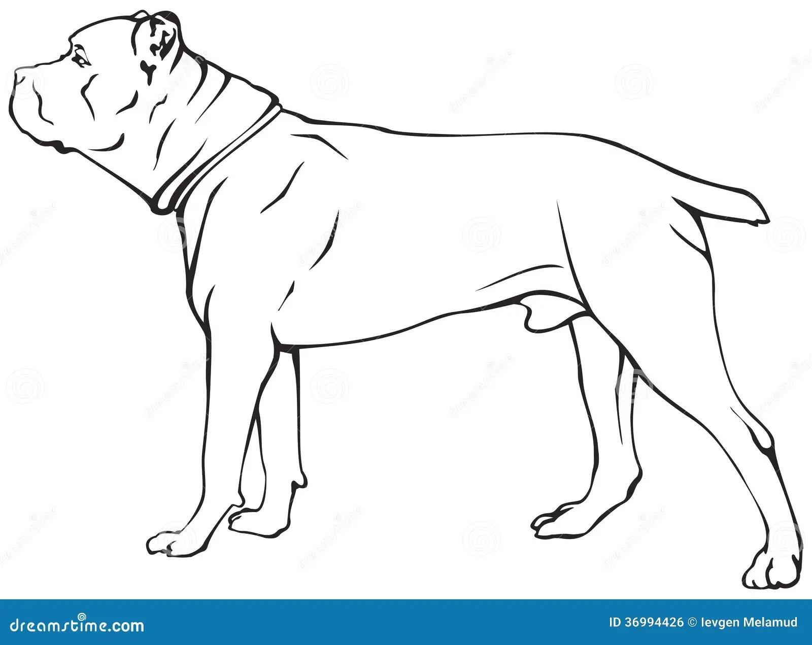 Cane Corso Dog Breed Royalty Free Stock Image
