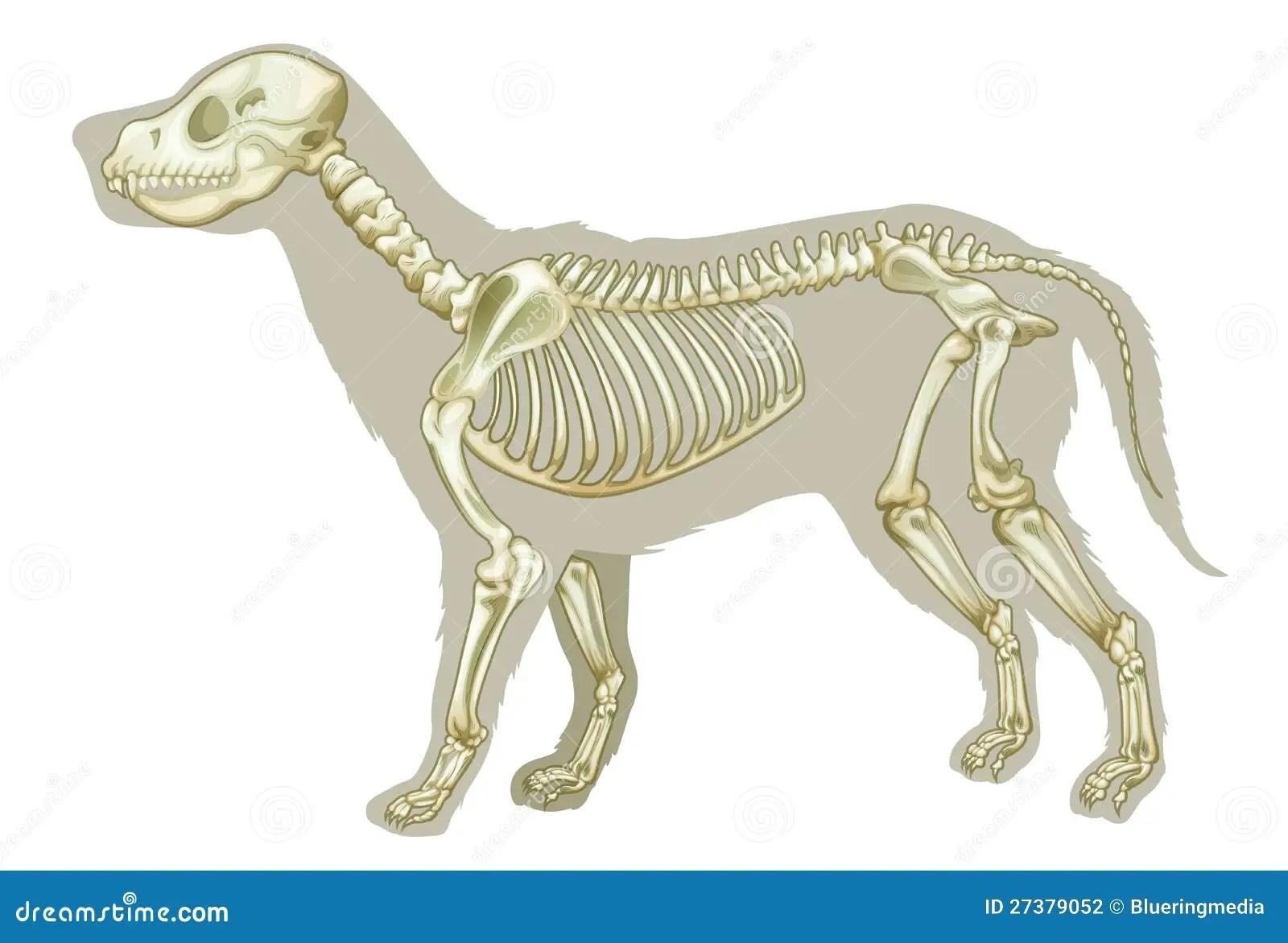 wolf skeleton diagram stewart warner gauge wiring canis lupus familiaris - stock illustration image: 27379052