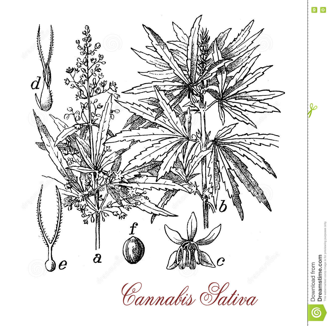 Cannabis Sativa, Botanical Vintage Engraving Stock