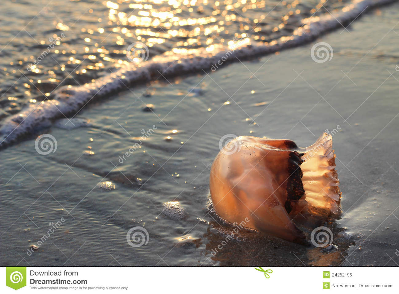 Cannonball Jellyfish In Surf Royalty Free Stock Image