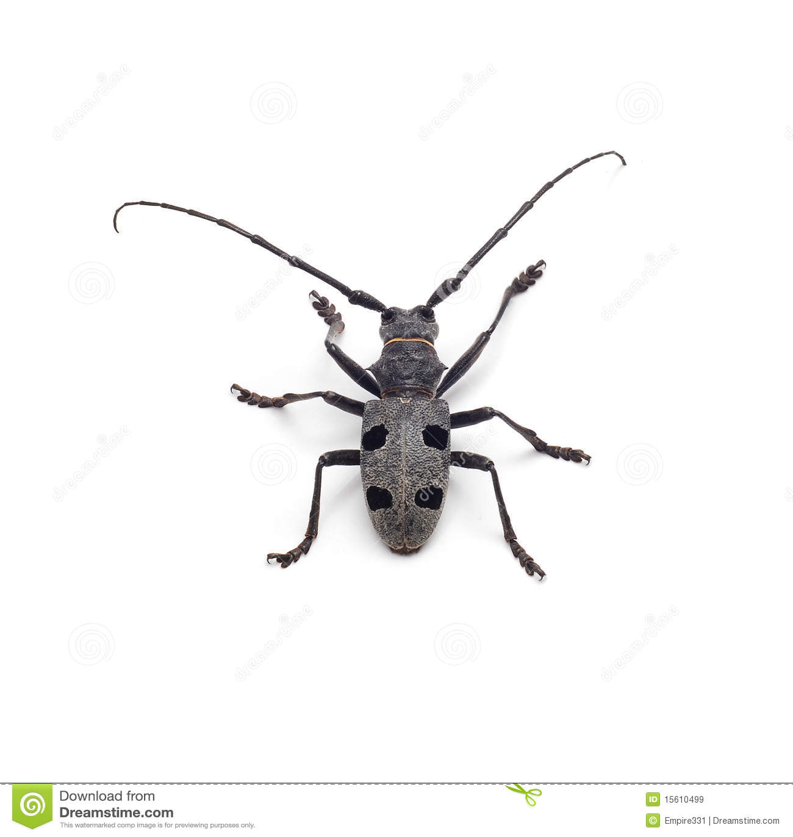 Capricorn Beetle Isolated Stock Image Image Of Animal