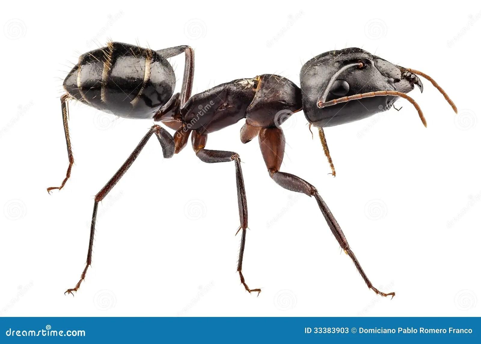 Carpenter Ant Species Camponotus Vagus Stock Photos