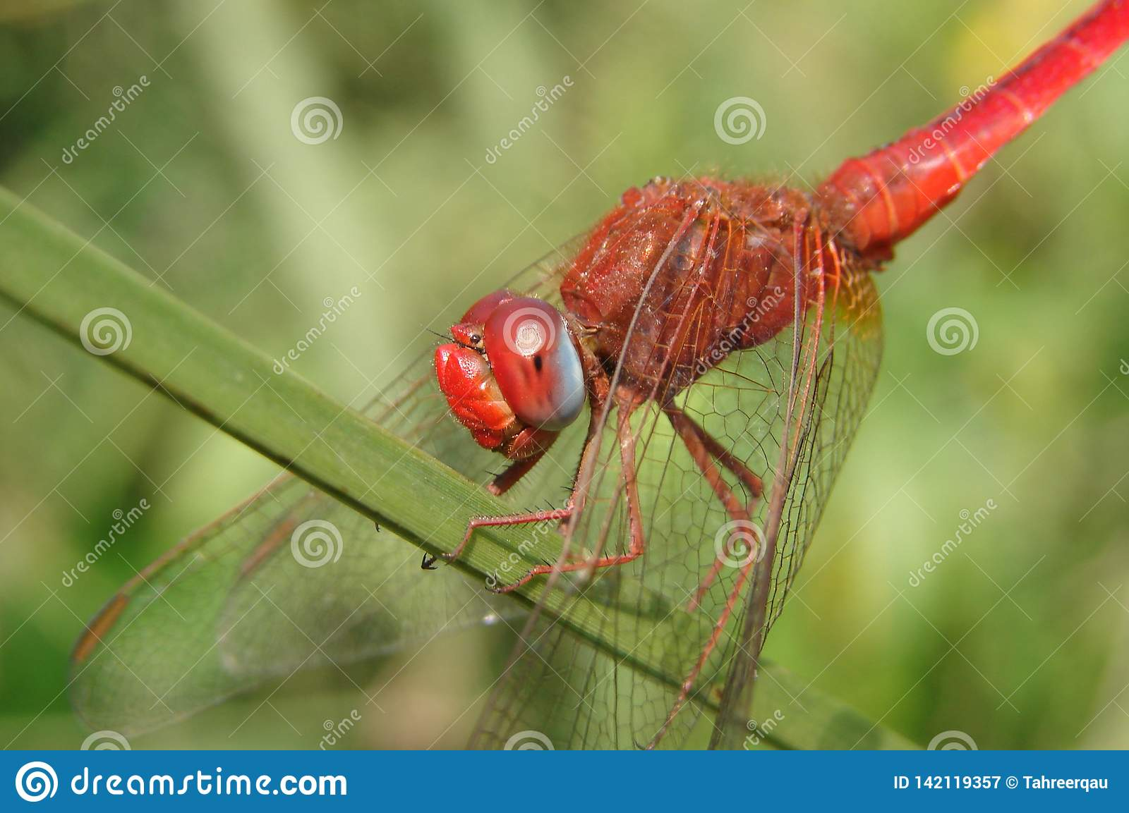 red dragon fly on
