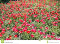 A Carpet Of Red Flowers Stock Photo