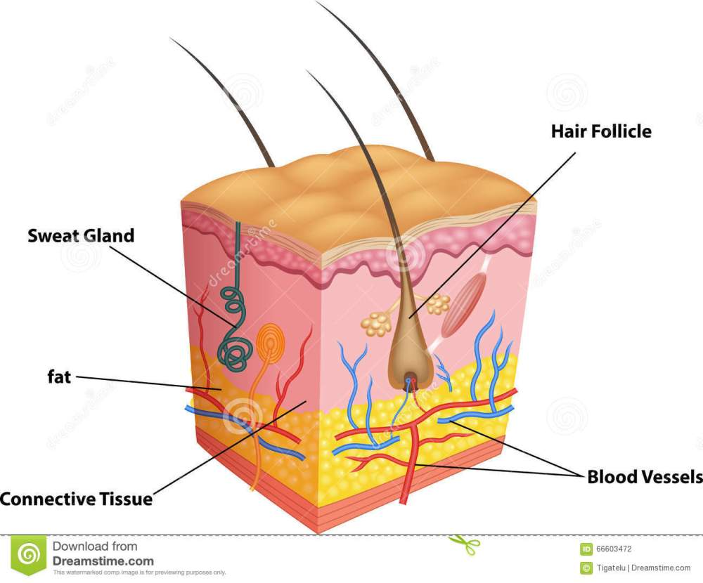 medium resolution of cartoon illustration of the layers of skin and pores anatomy