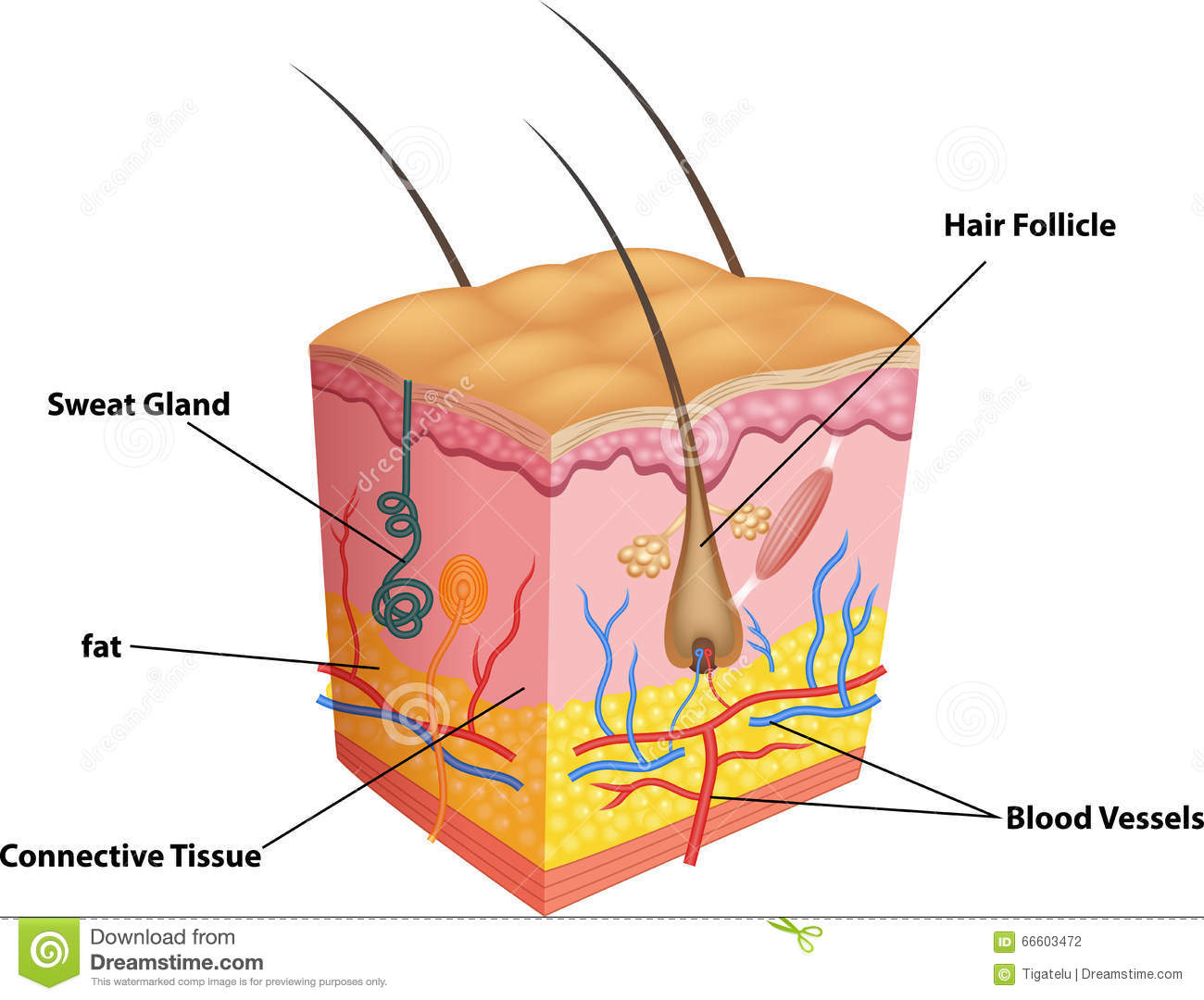 hight resolution of cartoon illustration of the layers of skin and pores anatomy