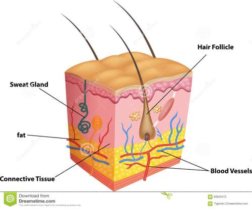 small resolution of cartoon illustration of the layers of skin and pores anatomy