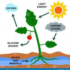Photosynthesis Z Scheme Diagram Ct70 K1 Wiring Royalty Free Stock Photos Image 29925058