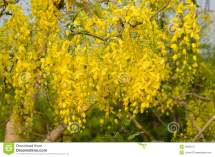 Cassia Fistula Flower Stock Of Backdrop