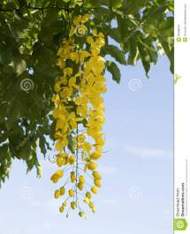 Cassia Fistula Golden Shower Stock - 35048541