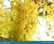 Cassia Fistula Stock Of Flora Backdrop