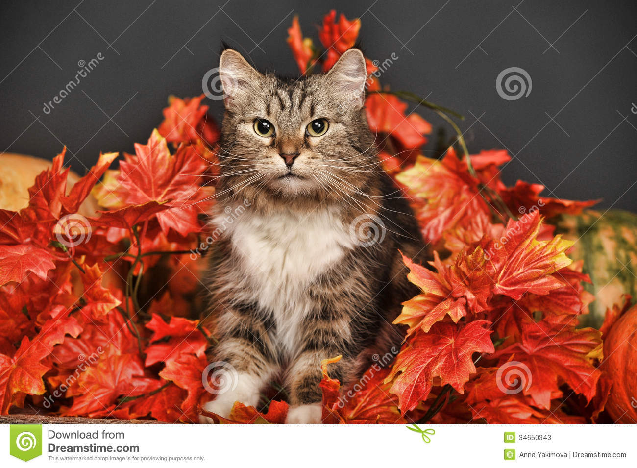 Maple Leaf Wallpaper For Fall Season Cat Amongst Autumn Leaves Stock Image Image Of Fluffy