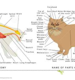 cat s organ anatomy diagram digestive system of the cat schematic representation of a domestic cat the name of parts of a body of cats [ 1300 x 728 Pixel ]