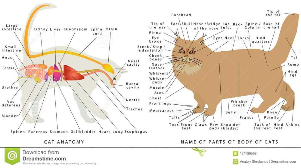 medium resolution of cat s organ anatomy diagram digestive system of the cat schematic representation of a domestic cat the name of parts of a body of cats
