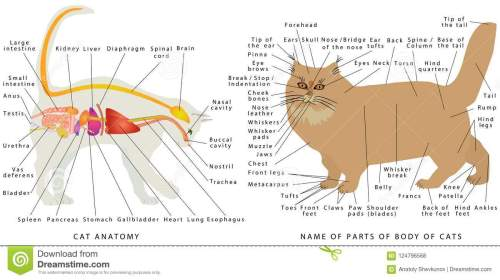 small resolution of cat s organ anatomy diagram digestive system of the cat schematic representation of a domestic cat the name of parts of a body of cats