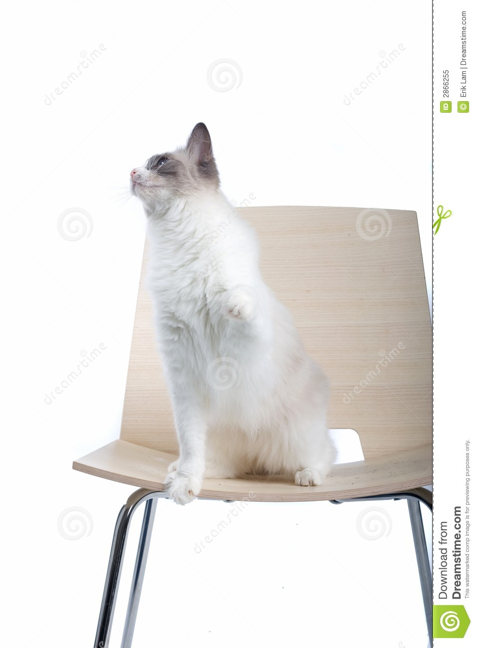Cat On Chair stock image Image of attentive portrait