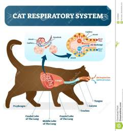 cat respiratory system vet anatomy vector illustration poster with lungs and capillary diagram scheme  [ 1246 x 1300 Pixel ]