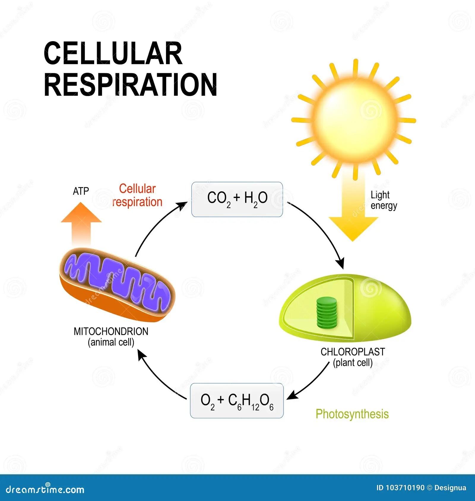 Cell Andning Forbindande Cell Andning Och Foto Vektor