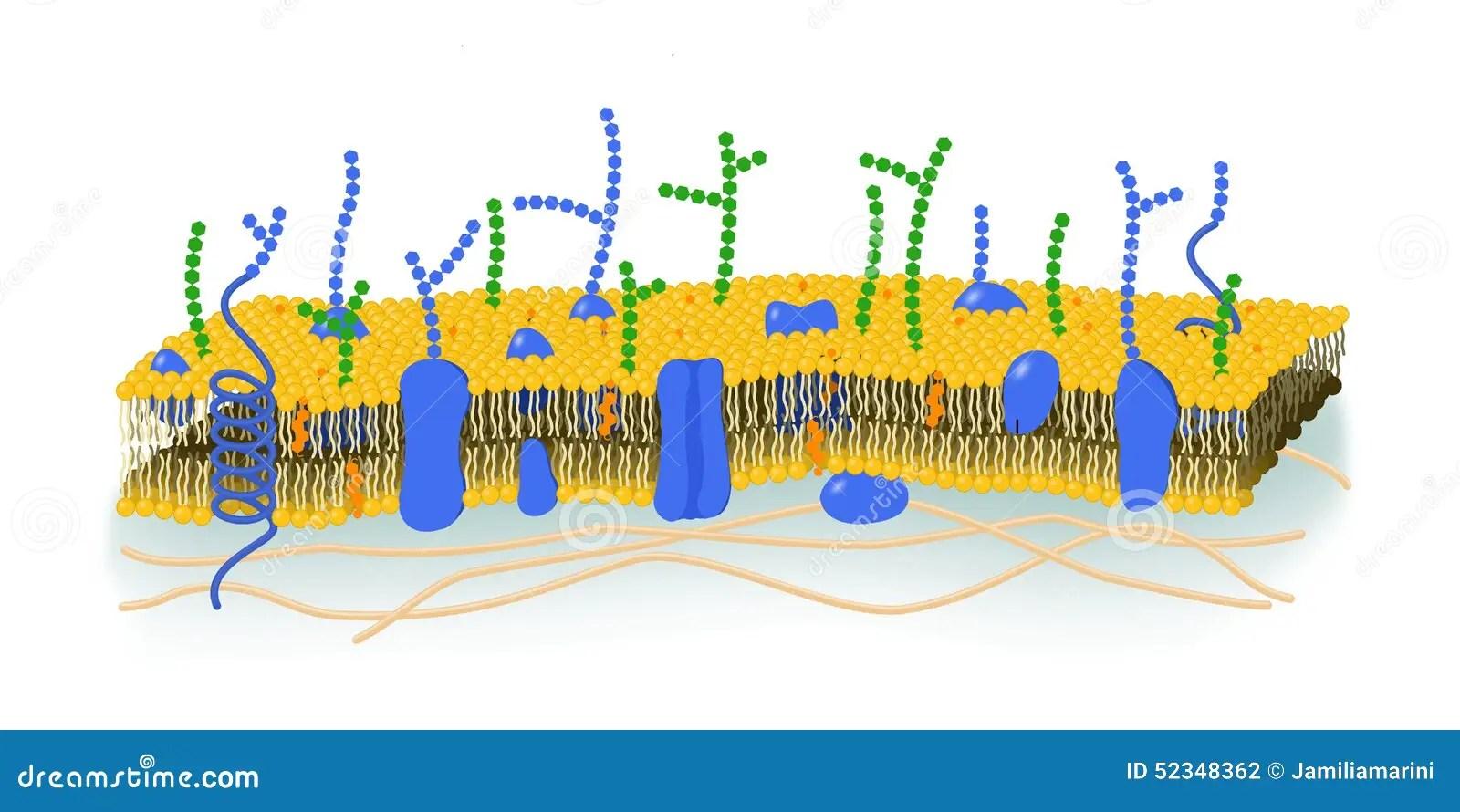 cell membrane diagram blank 2008 chevy malibu fuse box illustration stock of
