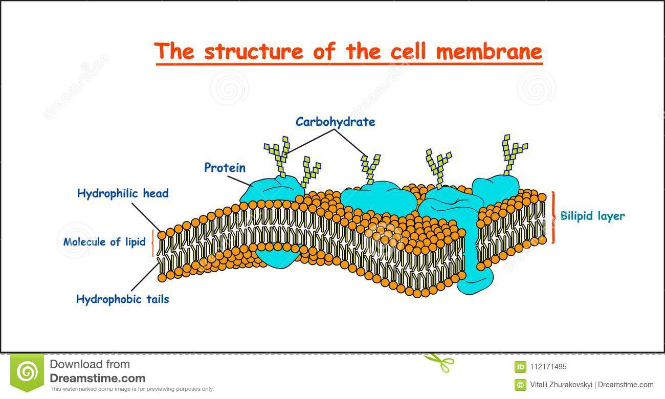 diagram of fluid mosaic model cell membrane 2007 dodge caliber starter wiring structure on white background isolated