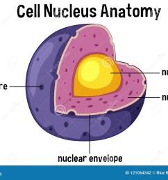 cell nucleus anatomy diagram [ 1300 x 925 Pixel ]