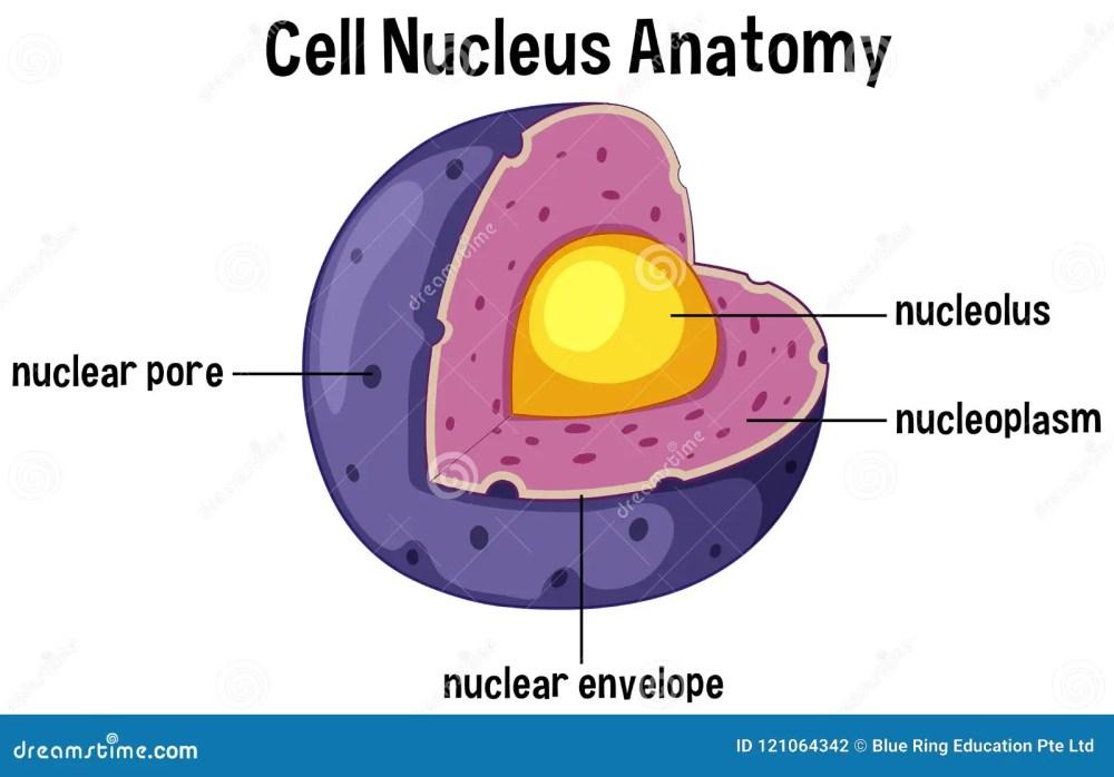 medium resolution of cell nucleus anatomy diagram