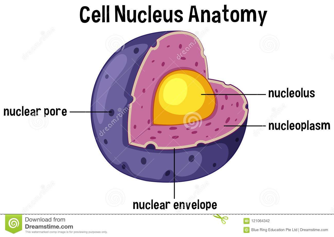 hight resolution of cell nucleus anatomy diagram