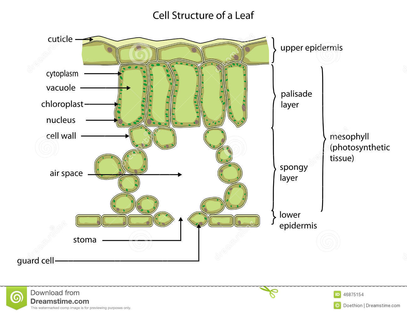 Cell Structure Of A Leaf Stock Vector Illustration Of