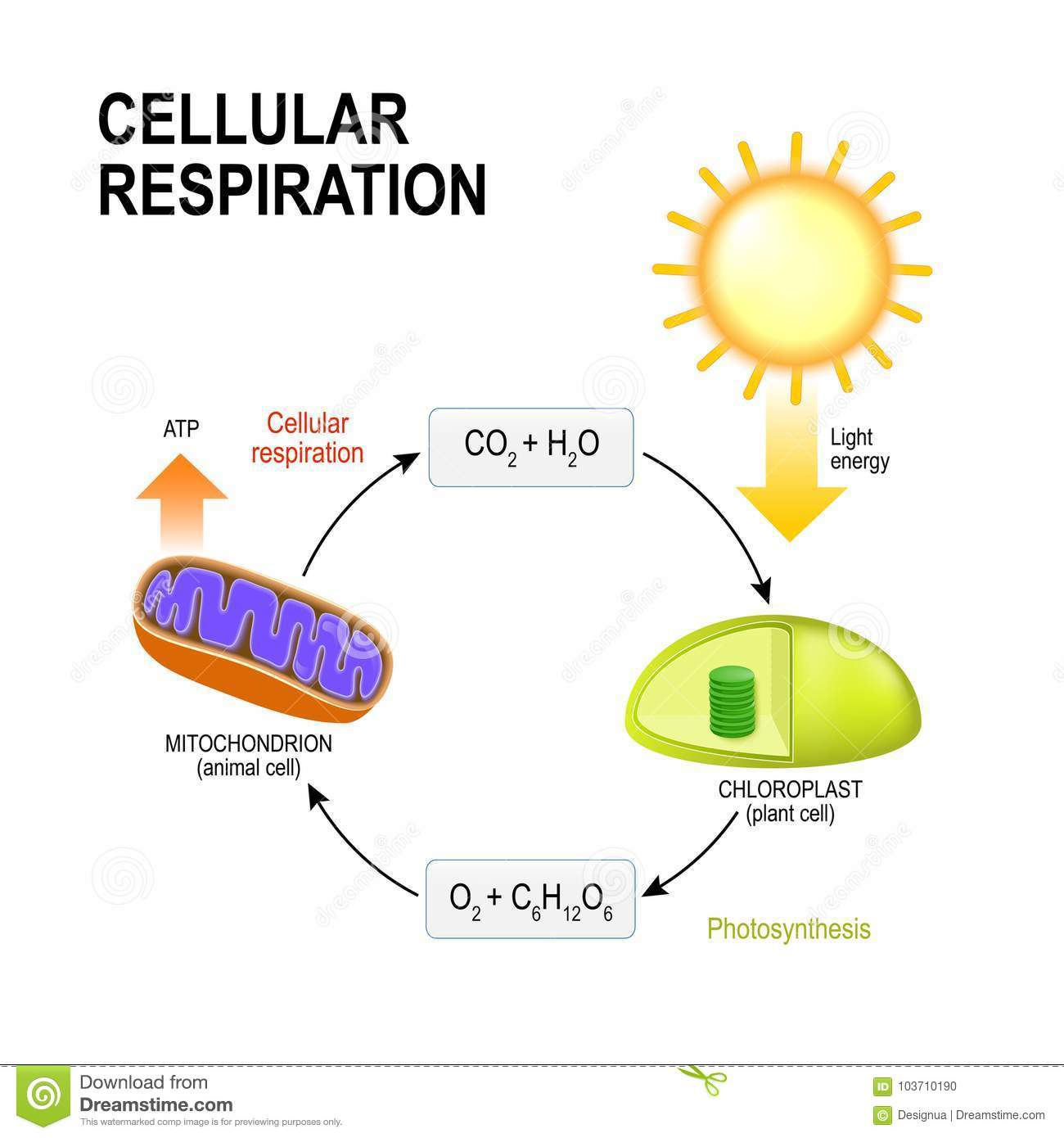 hight resolution of cellular respiration vector diagram presentation of the processes of aerobic cellular respiration connecting cellular respiration and photosynthesis