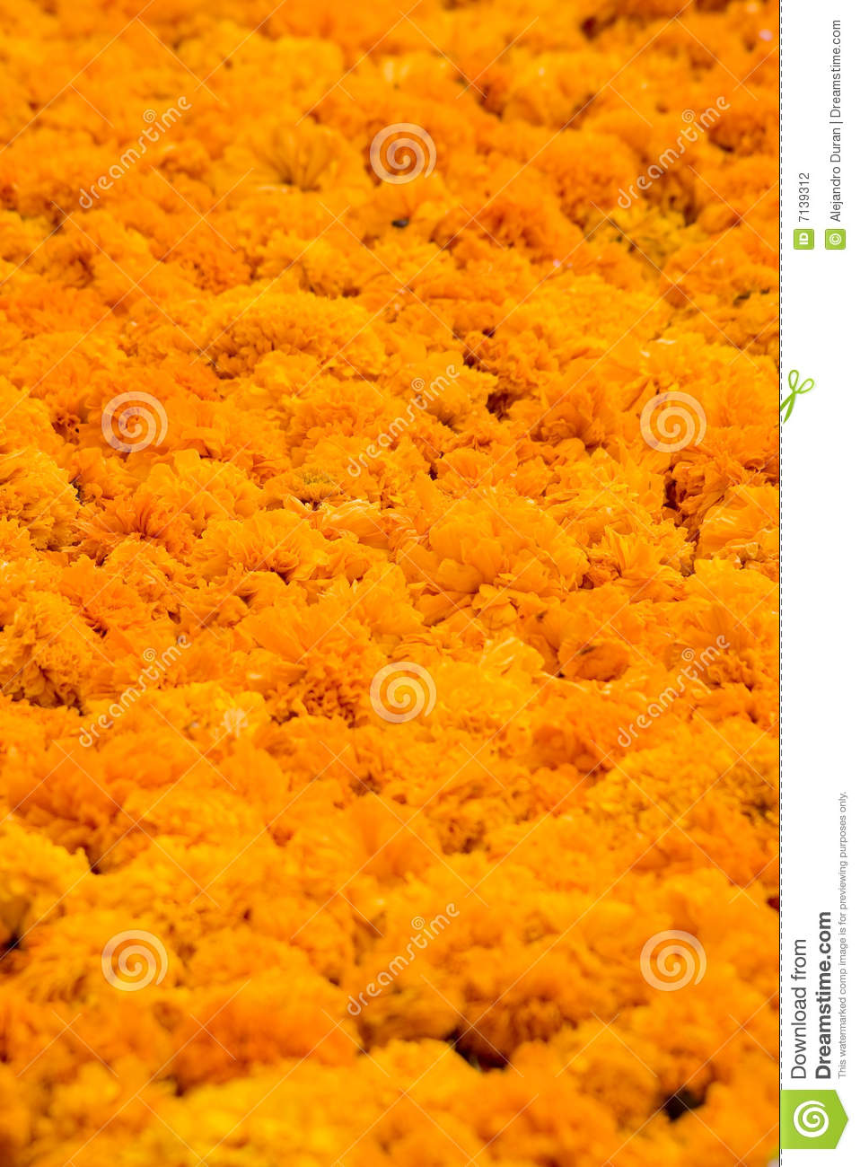 Fall Of The Leaf Wallpaper Cempasuchil Flower Stock Photography Image 7139312