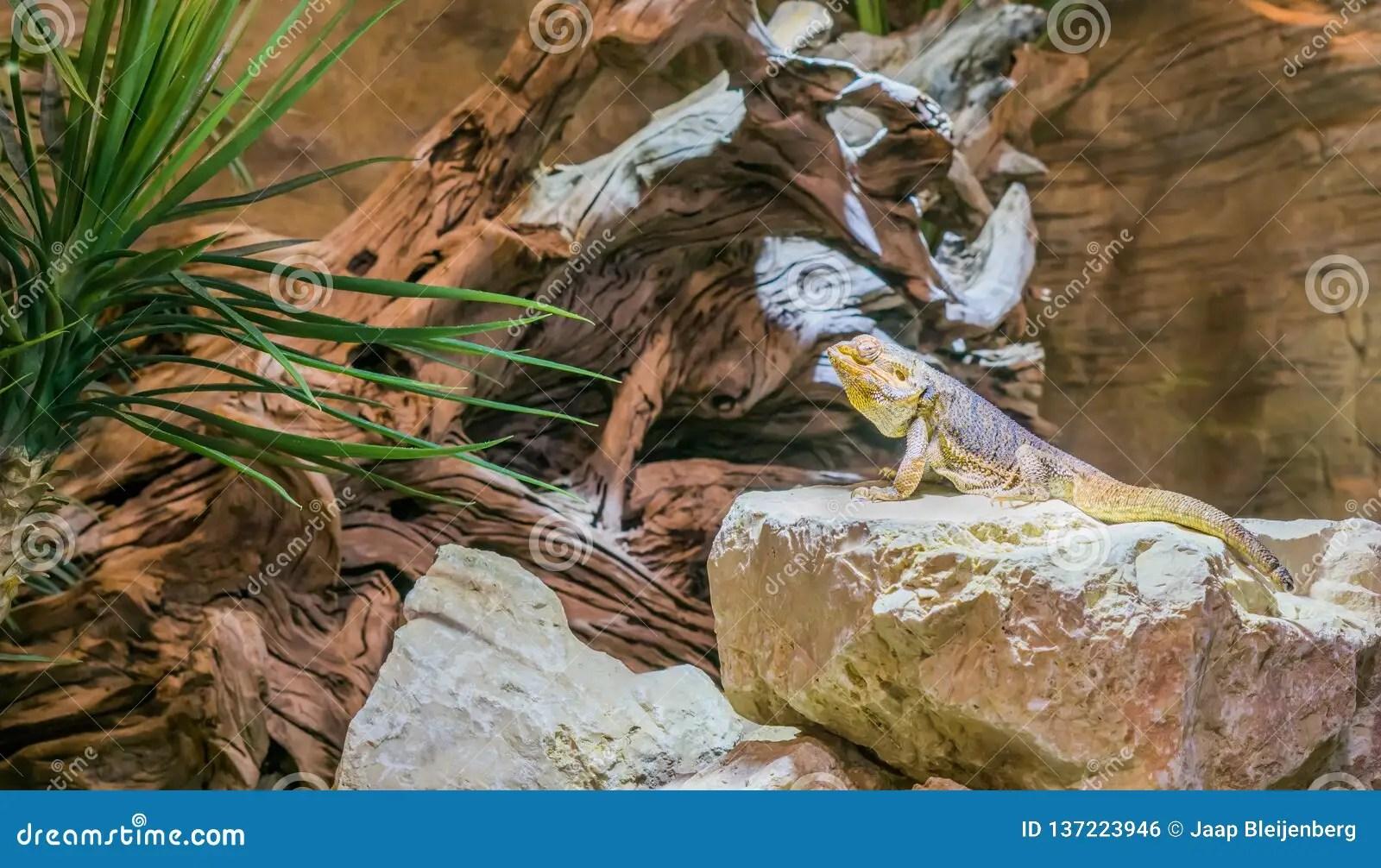 central bearded dragon lizard