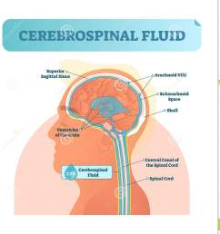 cerebrospinal fluid vector illustration anatomical labeled diagram human superior sigittal sinus and spinal cord central canal  [ 1377 x 1300 Pixel ]