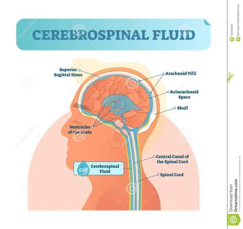 small resolution of cerebrospinal fluid vector illustration anatomical labeled diagram human superior sigittal sinus and spinal cord central canal