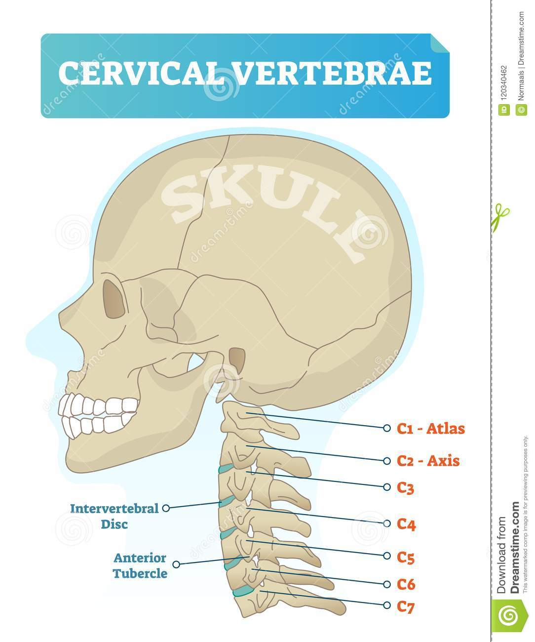 cervical vertebrae diagram lewis dot for gold of atlas and axis great installation wiring