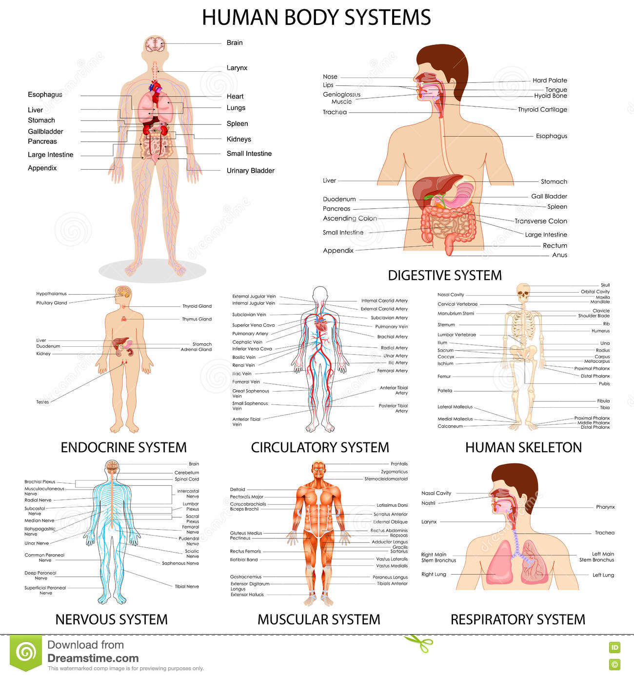 Chart Of Different Human Organ System Stock Vector