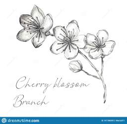 blossom cherry sakura outline flower japanese tree vector branch cartoon drawn isolated hand illustrazione ramo
