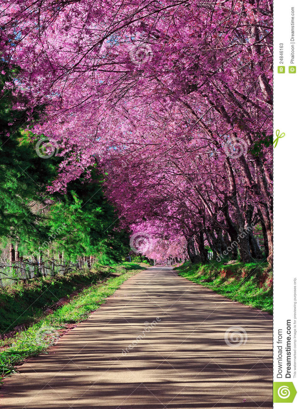 Cherry Blossom Pathway Stock Photos  Image 24846163