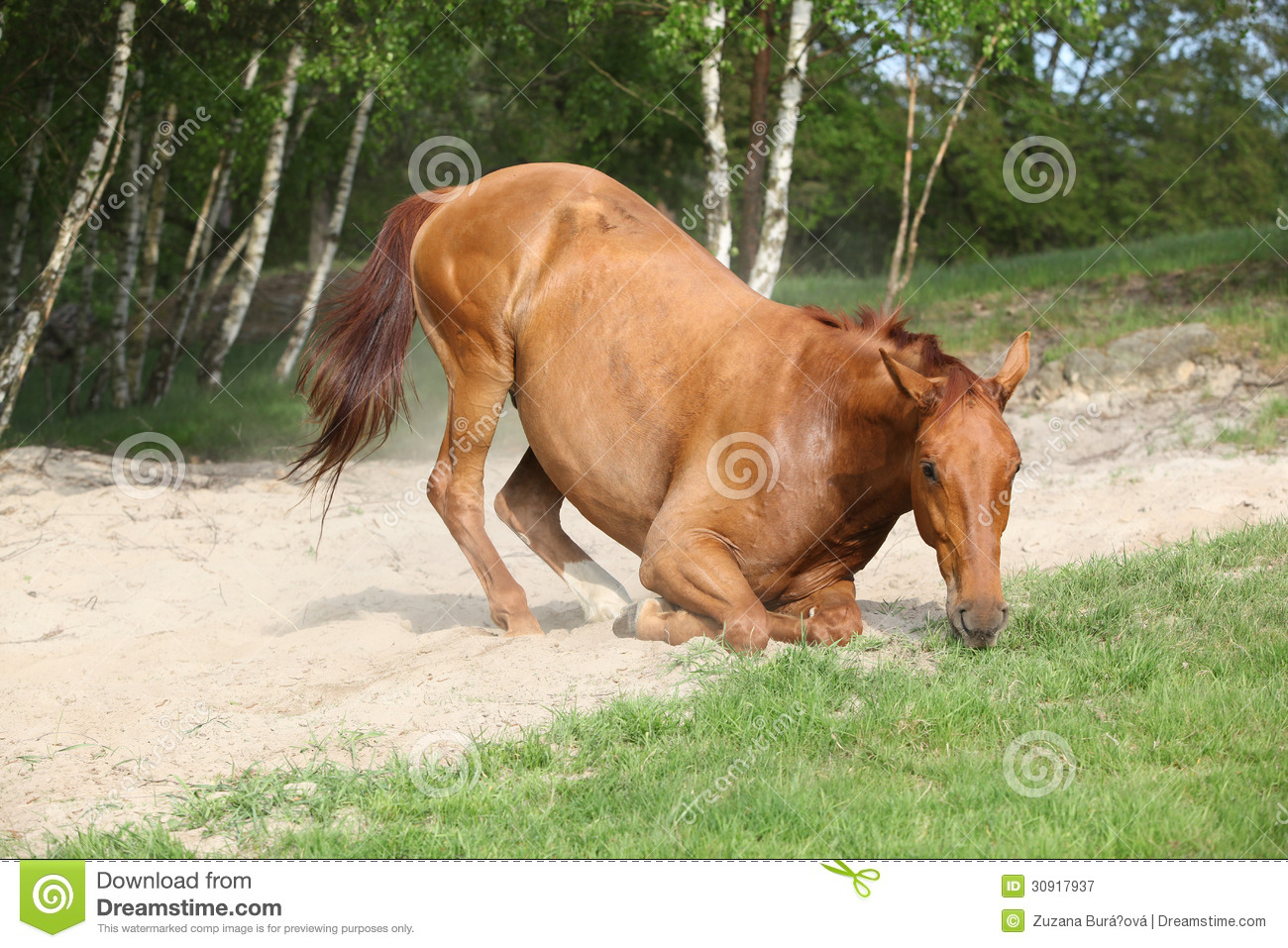 Chestnut Horse Lying Down In The Sand In Hot Summer